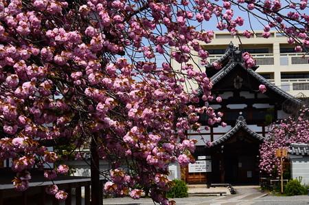 関山満開の妙蓮寺