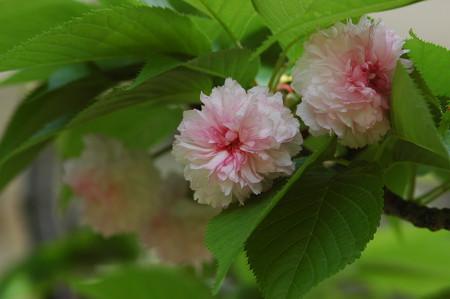 兼六園菊  桜(ケンロクエンキクザクラ)