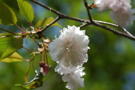 ハッテン  ザクラ(八天桜)2