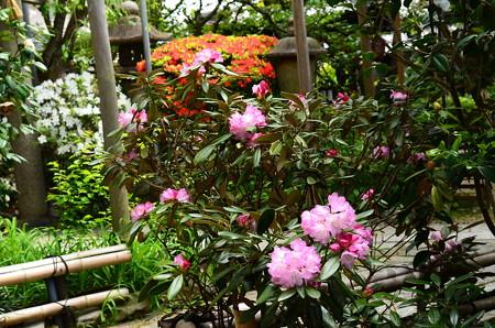 石楠花と躑躅咲く雨宝院