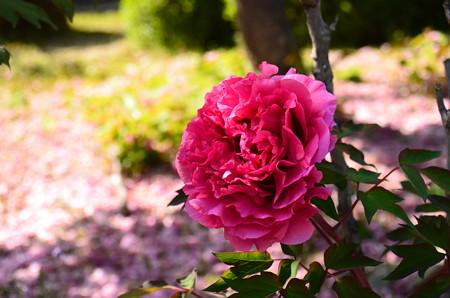 散り桜を背景に咲く