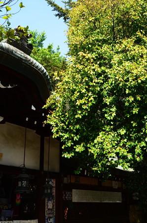 白峯神宮の含笑花(がんしょうげ)