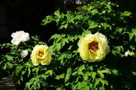 黄色と白の牡丹