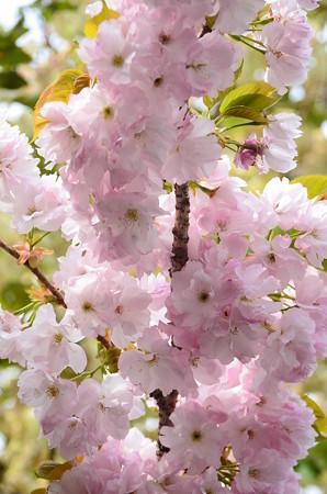 バスプール脇の桜