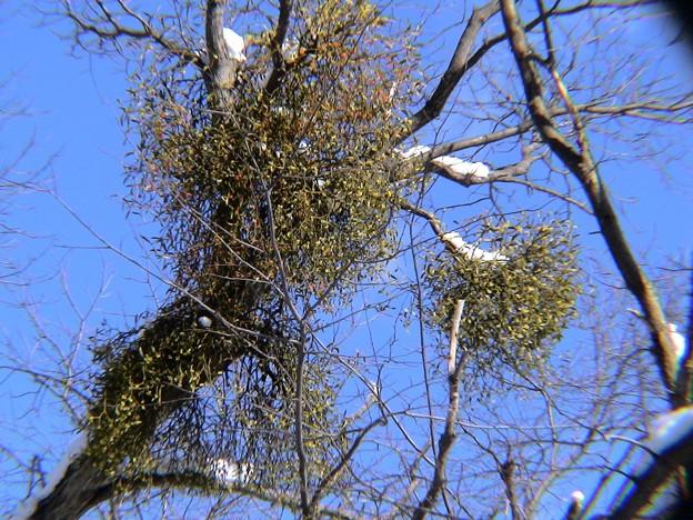 ヤドリギ 寄生木