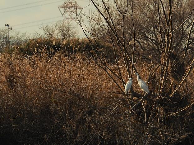 Photos: 二羽の鷺