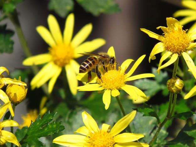 日本蜜蜂&シマカンギク_5330