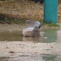 キジバト雨の日の水浴び_7766