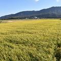 高島市散歩 風に揺れる稲穂