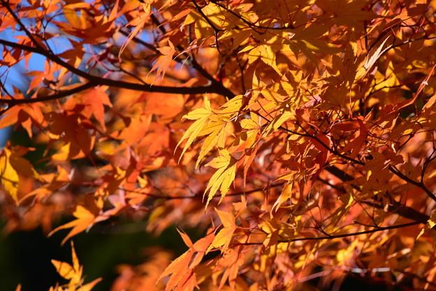 陽光の紅葉