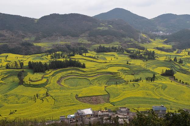 雲南省羅平 牛街の菜の花畑#2