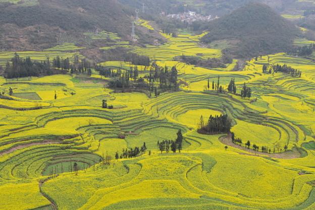 雲南省羅平 牛街の菜の花畑#5