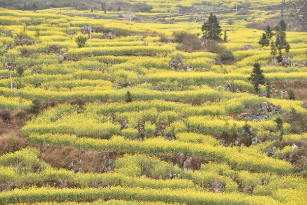 雲南省羅平 牛街の菜の花畑#10