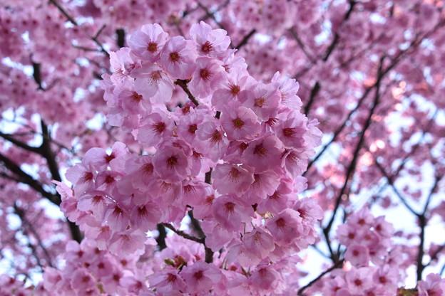 ピンクの桜(酒波寺)