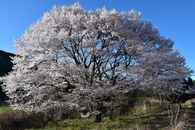 一本桜(無名)