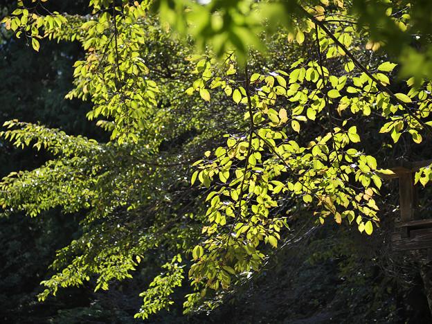 151002_山梨県北杜市・白州・尾白の森名水公園「べるが」_黄葉<サクラ仲間>_DA0253399_B50EL_NH_F4_X6As