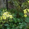 写真: 次々に咲くツワブキ