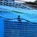 写真: こんな所にツマグロヒョウモンのサナギ