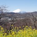 Photos: 富士山と菜の花1