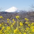 Photos: 富士山と菜の花2