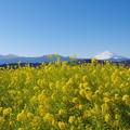 Photos: 富士山と菜の花9