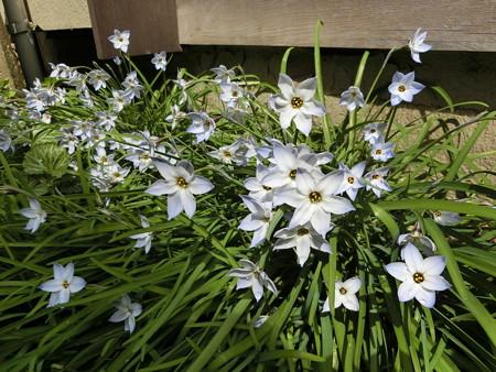満開の花ニラ