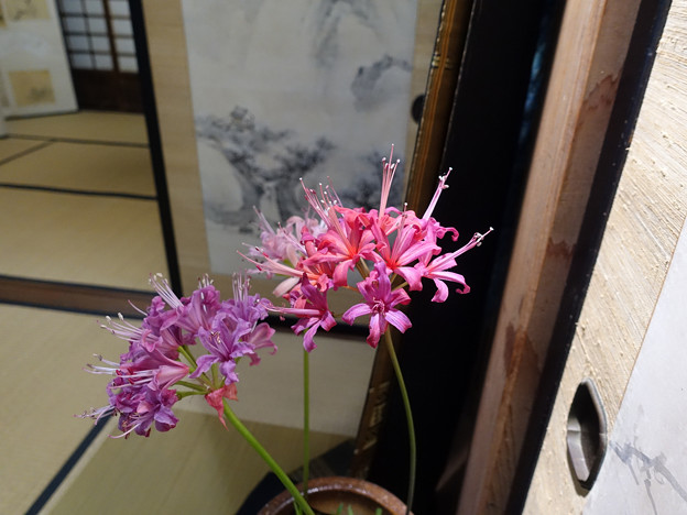 南アフリカ原産のヒガンバナ科ネリネ属の花