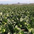 写真: 春キャベツの生産全国第一位