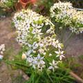 Photos: 韮の花・・・