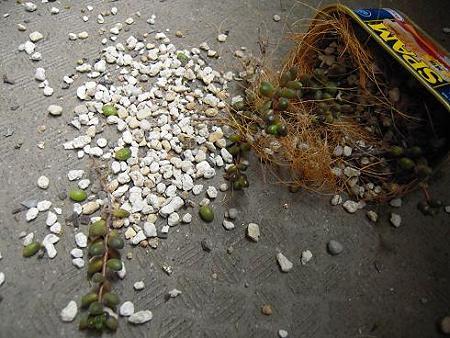 強風で落ちた玉葉