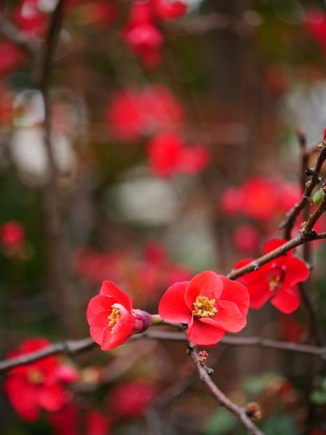 Photos: 木瓜2015.12.06目白庭園
