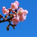 *カワズ桜**