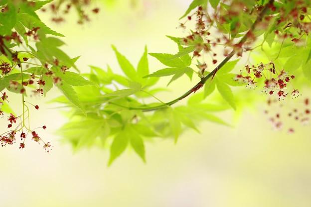 写真: ~もみじの春~~