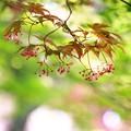 写真: ~モミジの花~~