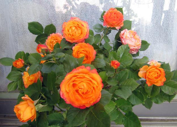 Floribunda Rose Baby Romantica ベビーロマンティカ