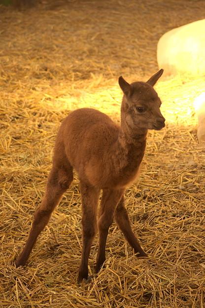 アルパカ(10月生まれ) 其の三