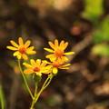 Photos: Yellow Daisy♪