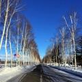写真: 青空・一本道・シラカバ並木