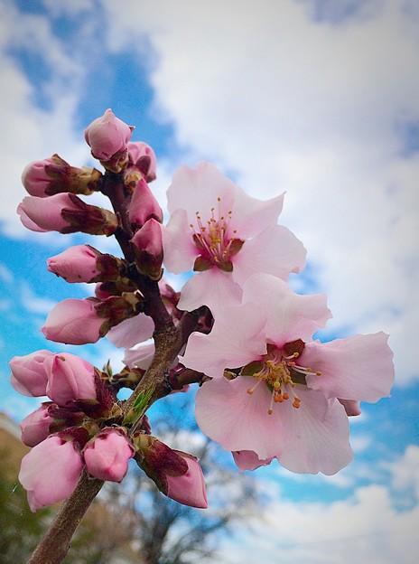 Almond Tree Blossom♪