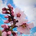 Photos: Almond Tree Blossom♪