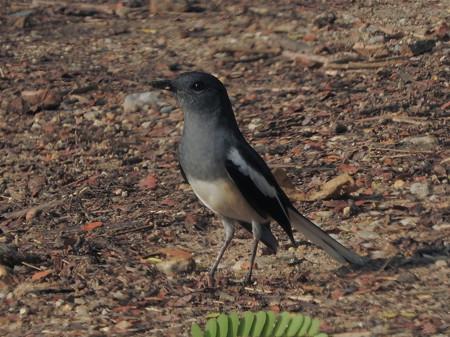 シキチョウ(♀)(Oriental Magpie Robin) DSCN2443_RS2