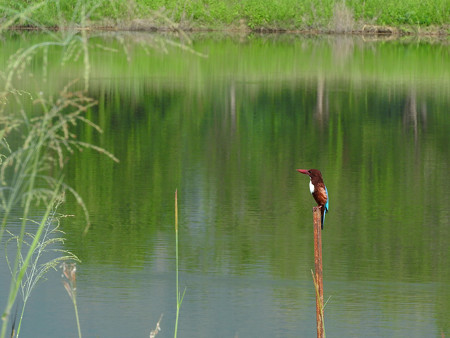 アオショウビン(White-throated Kingfisher) DSCN3056_RS