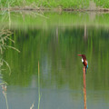 アオショウビン(White-throated Kingfisher) DSCN3056_RS