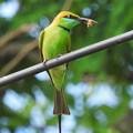 ミドリハチクイ(Green Bee-Eater) DSCN2996_RS