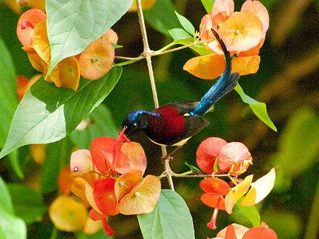 ムナグロタイヨウチョウ(Black-throated Sunbird) IMGP129263_R