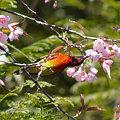 写真: ルリオタイヨウチョウ(Gould's Sunbird) P1110716_R