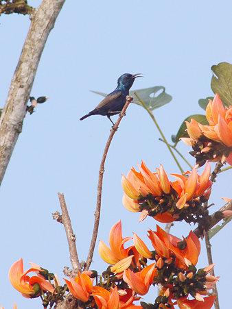 ムラサキタイヨウチョウ(Purple Sunbird) P1140788_R