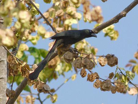クロラケットオナガ(Racket-tailed Treepie) P1020542_R