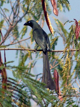クロラケットオナガ(Racket-tailed Treepie) P1020830_R2