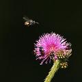 写真: オジギソウの花に群れるハチ P1280790_R